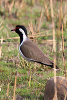 Red Wattled Lapwing Vanellus Indicus