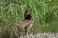 Sharp tailed grouse Tympanuchus phasianellus