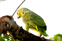 Red lored parrot Amazonia autumnalis