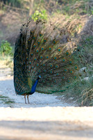 Indian Peafowl Pavo Cristatus