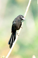 Groove-billed ani Crotophaga suicrostris