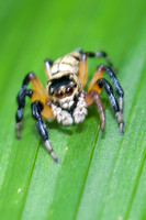 Jumping spider Phiale formosa