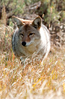 Coyote Canis latrans