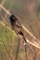 Red Vented Bulbul Pycnonotus Cafer